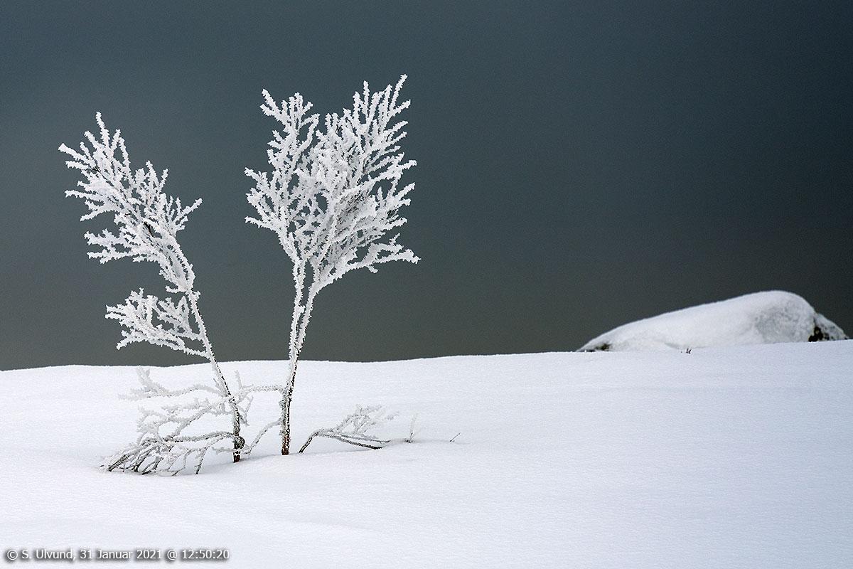 Froststeming